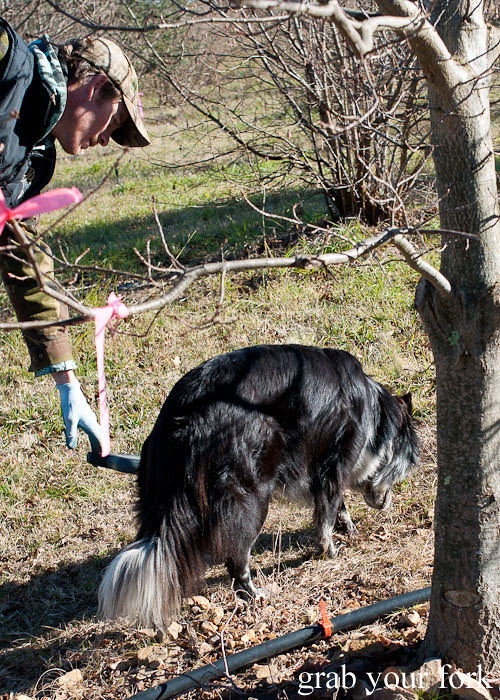 truffle sniffing dog on a truffle hunt