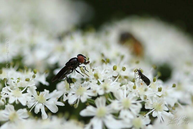 Syrphidae (Melanostoma sp ?) - Coleoptera