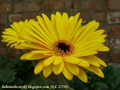ch - cv yellow with orange streaks gerberas