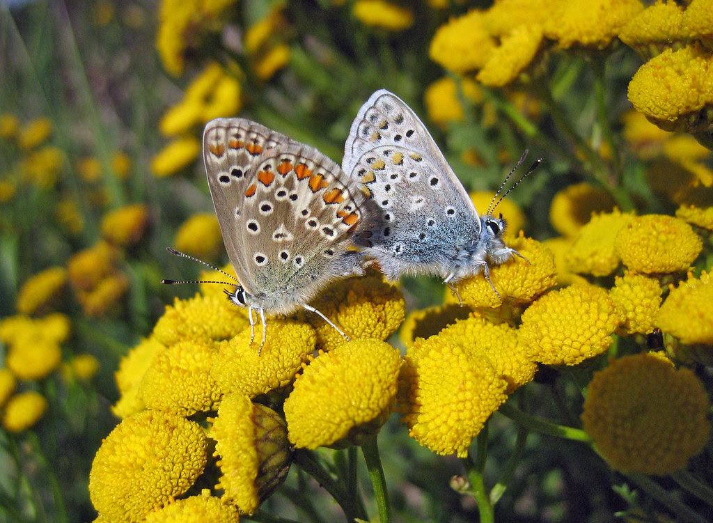 Mating pair of Plebejus argus
