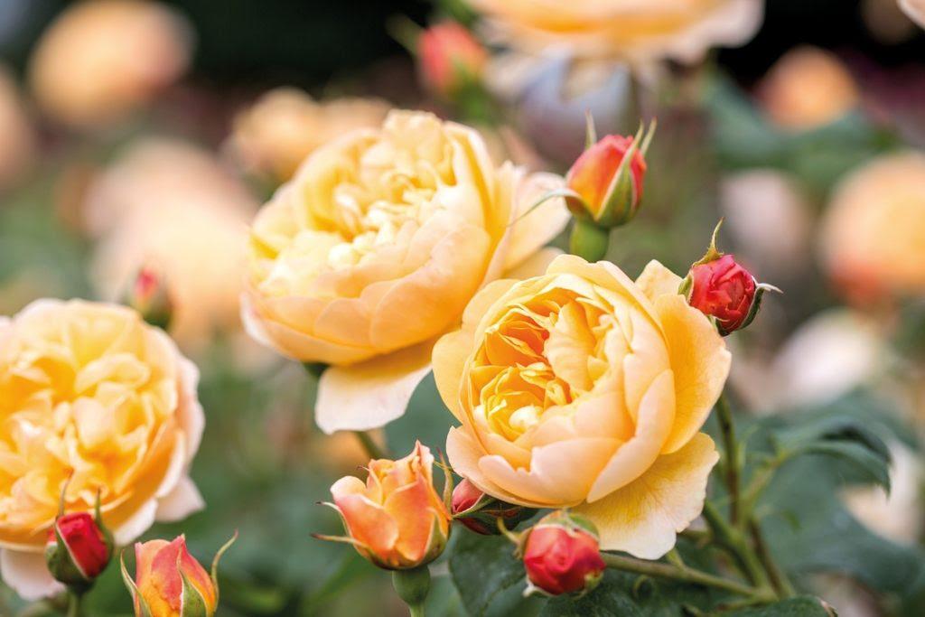 Image result for david austin roses
