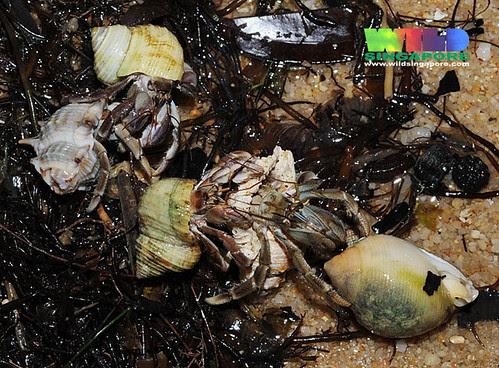 """Hermit crabs """"Big shell exchange"""""""