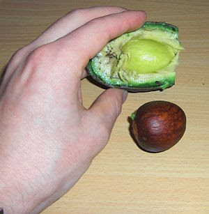 English: Pit of an avocado Deutsch: Kern einer...