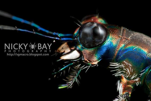Tiger Beetle (Cicindelinae) - DSC_9564
