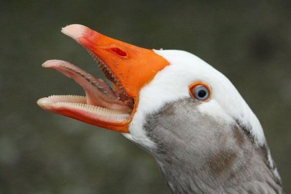 Πάπια-Duck-Goose