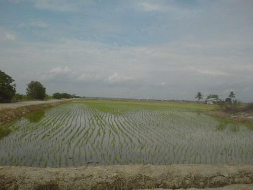 Paddy field at Kuala Selangor