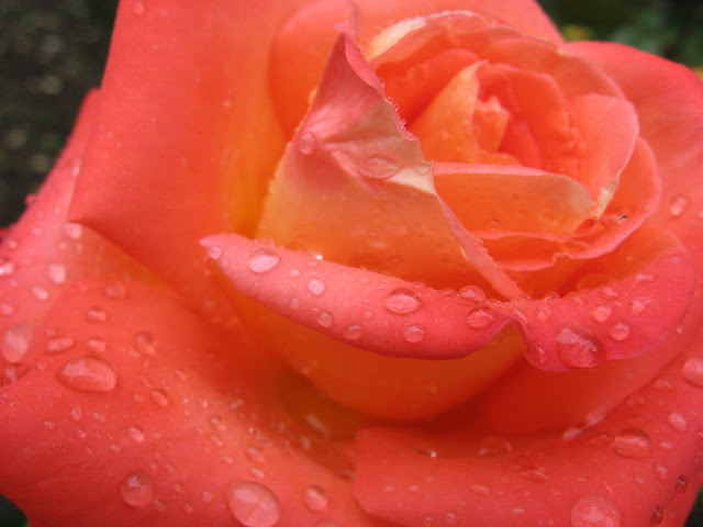 orange_wet_rose