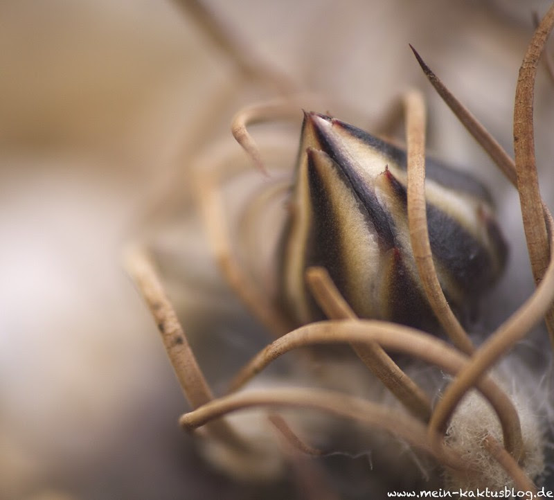 Turbinicarpus schmiedickeanus ssp. macrochele var. frailensis, El Fraile f:5.5