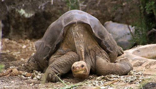 Lonesome George Pinta giant tortoise Santa Cruz