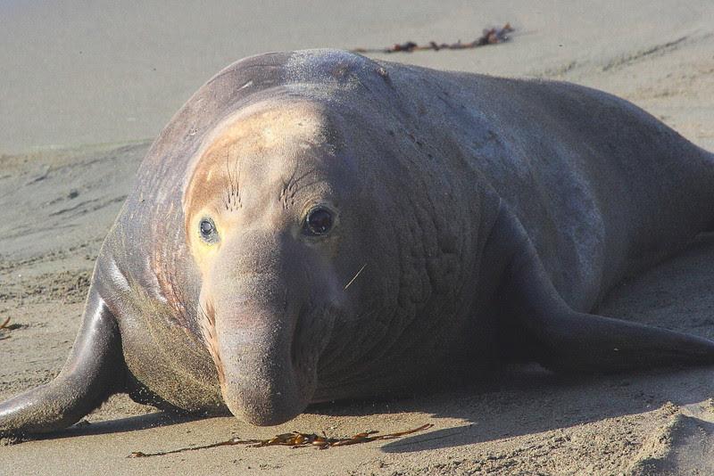 IMG_5063 Elephant Seal Bull at Piedras Blancas