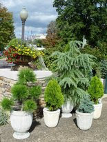 Evergreens in pots for winter? | PennLive.
