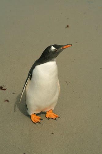 Curious Gentoo Penguin