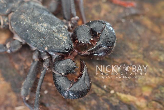 Whip Scorpion (Thelyphonida) - DSC_4189