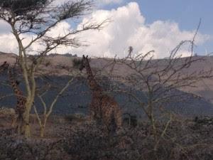 Acacia tree & giraffe_1445