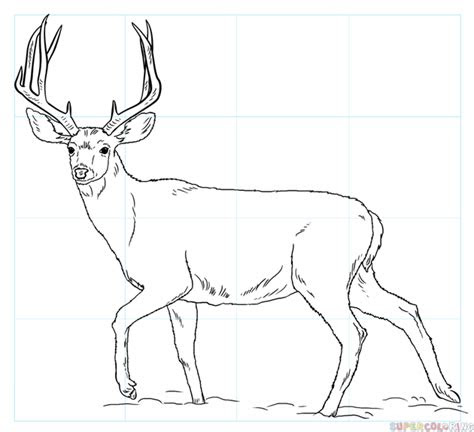 draw  mule deer step  step drawing tutorials