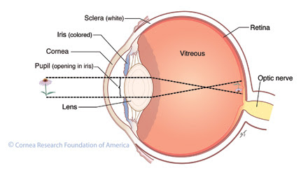 Cornea Research Foundation Of America How The Eye Works
