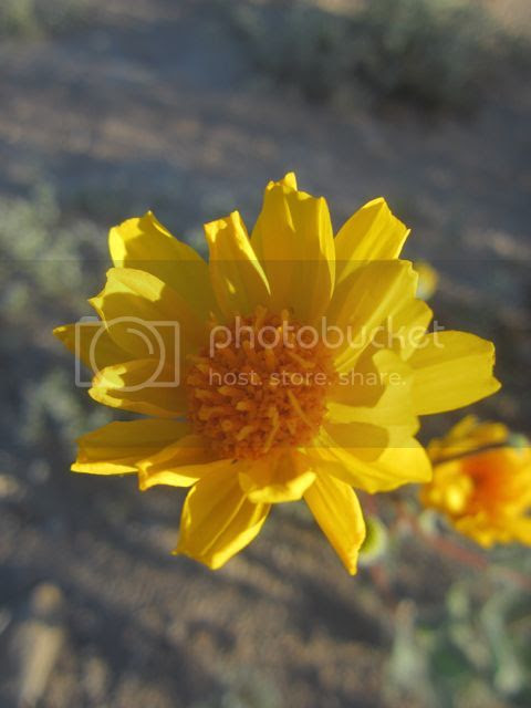 Desert sunflower photo desertsunflower2_zps440e1669.jpg