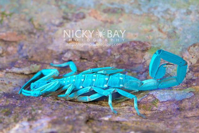 Scorpion (Lychas scutilus?) - DSC_0638