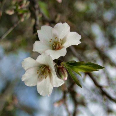 20060225-vs-8421 Ameixieira - Prunus domestica