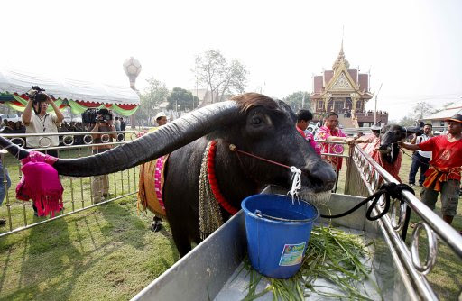 A male water buffalo is pictured in its pen as its bride is led to it during a water buffalo wedding ceremony ahead of Valentines' Day in the ancient Thai capital of Ayutthaya