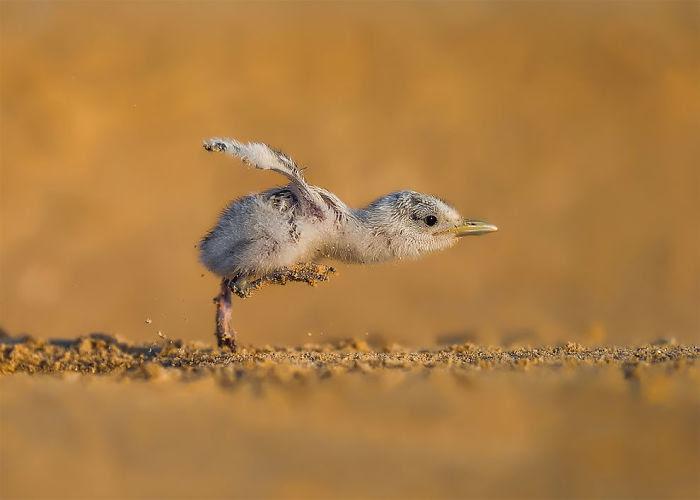 Velocidad Máxima Por Faisal Alnomas, Kuwait. Categoría Comportamiento De Aves