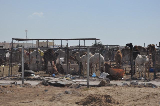 Camel souk-Doha-fev (1)