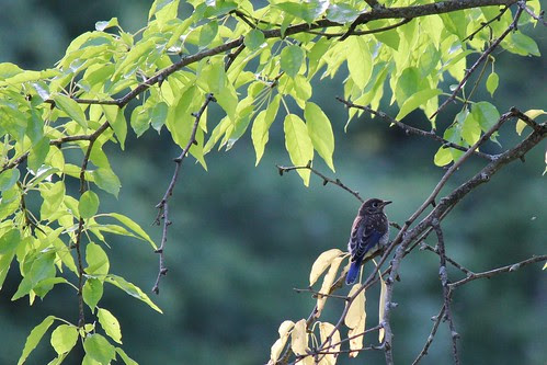 IMG_0912_Juvenile_Eastern_Bluebird_in_Tree