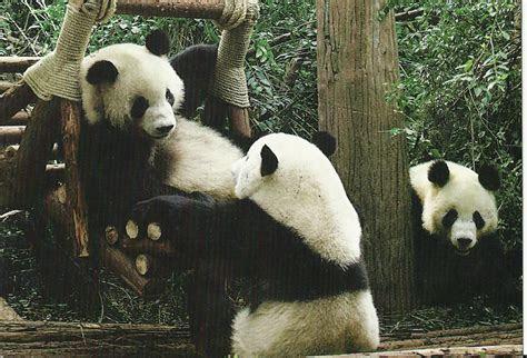 kartuposku kartuposmu panda imut