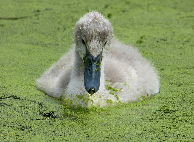 27514 - Mute Swan Cygnet, WWT London
