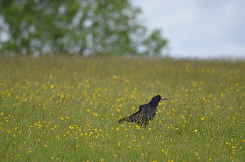 Rook (Corvus frugilegus), the Crow that's Not a Crow by Sheri Fresonke Harper