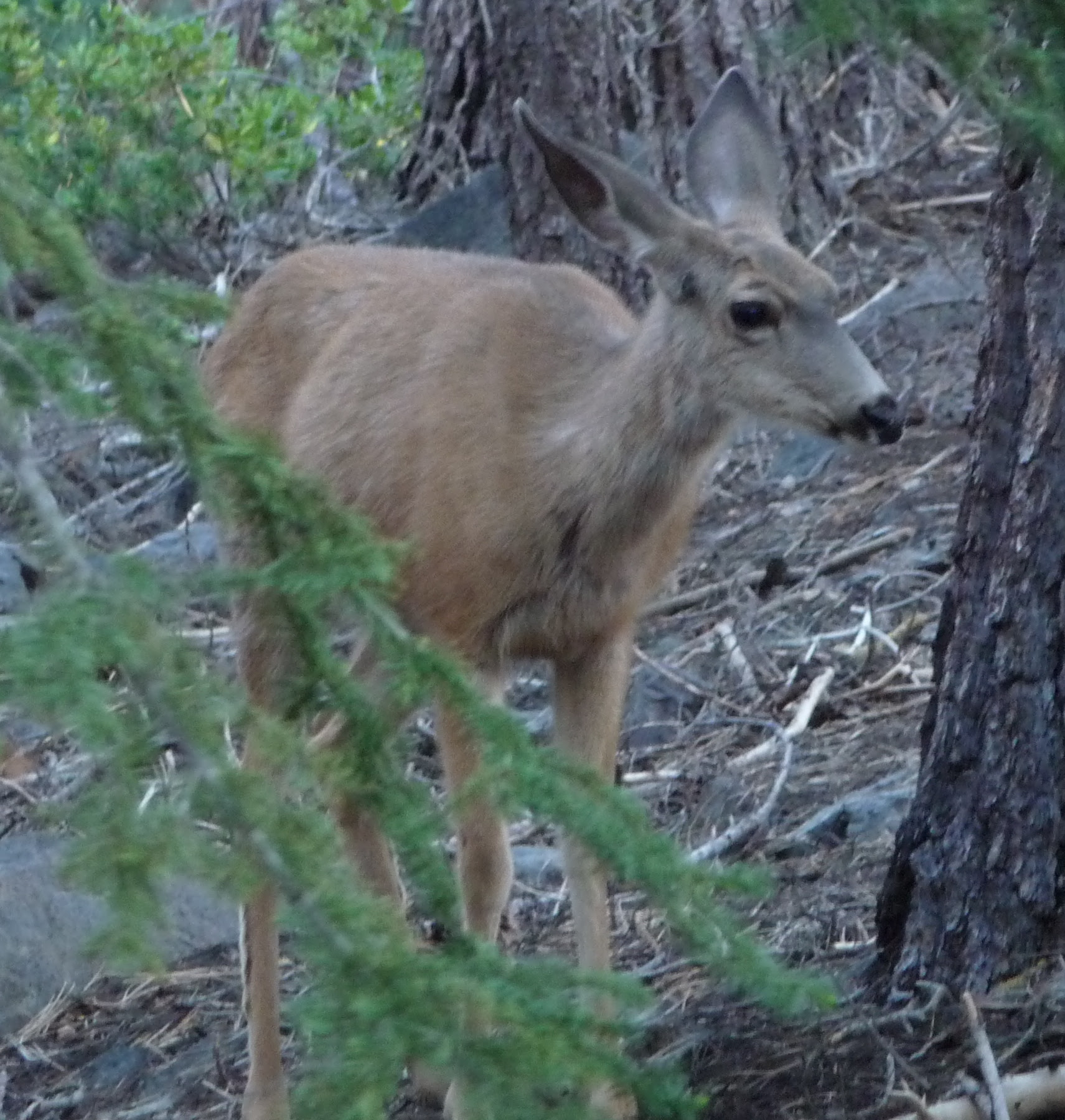 http://upload.wikimedia.org/wikipedia/commons/1/11/Inyo_Crater_Lakes_-_Mule_Deer_nearby.JPG
