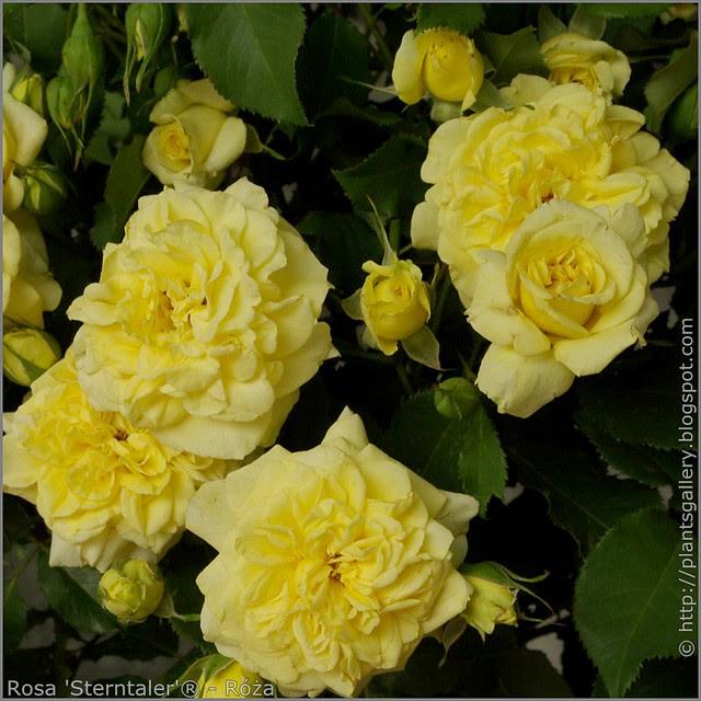 Rosa 'Sterntaler' - Róża