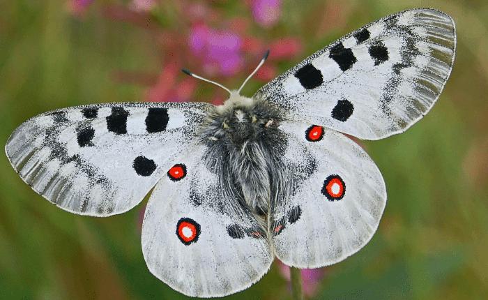 Mariposa Apolo Descripción Características Hábitat Y Mas