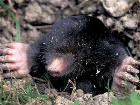 Mole (Animal)   The Animals Biography