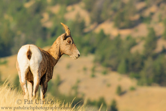 Photograph of a bighorn sheep ewe watching over a valley in Yellowstone National Park