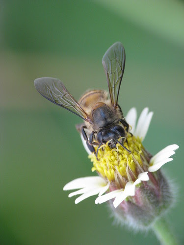Honey Bee on a Coat Button