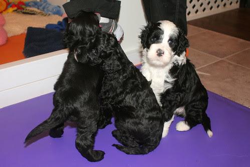 puppies 097