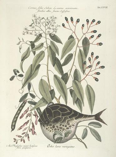 Cornus, foliis Salicis Laurece acuminatis; floribus albis; fructu sassafras AND Orbis laevis variegatus