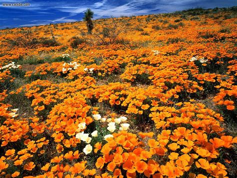 nature mexican gold poppies cochise county arizona