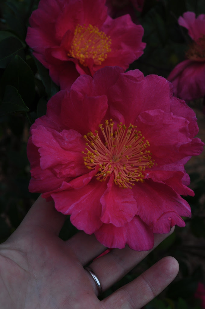 Camellia sasanqua - unknown seedling