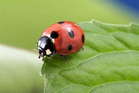 Ladybugs   Identification   Environment   Threats   Treatment