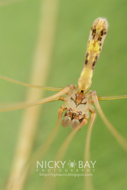 Daddy-Long-Legs Spider (Pholcidae) - DSC_7520
