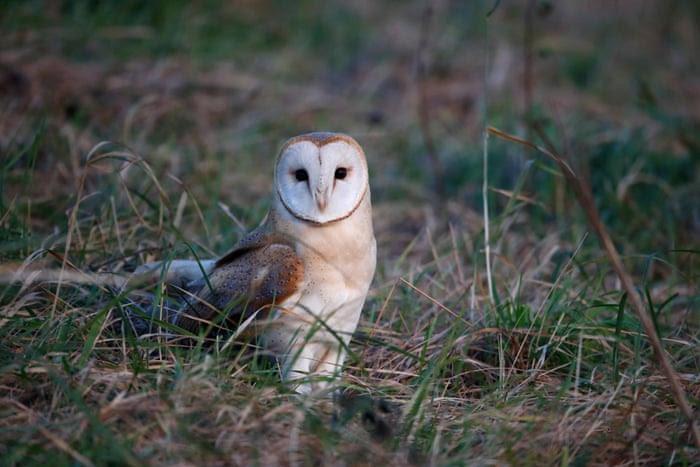 Barn owl, Tyto alba, single bird in grass, Norfolk, January 2015