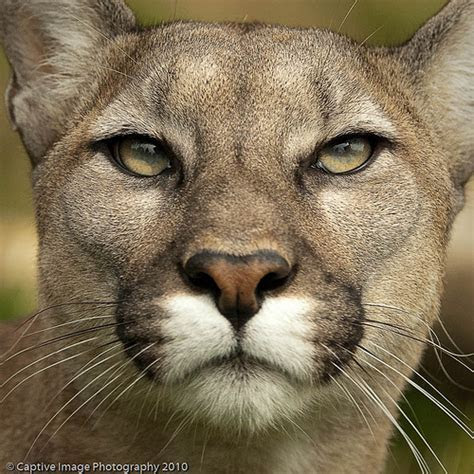 Puma Concolor   Flickr   Photo Sharing!