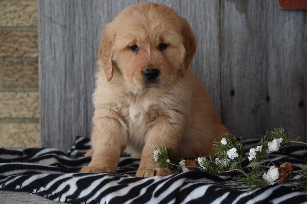 Akc Registered Golden Retriever Puppy For Sale Sugarcreek ...
