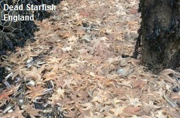 Dead Starfish Cleethorpes
