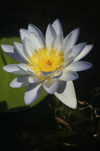 Water Lily at Fogg Dam