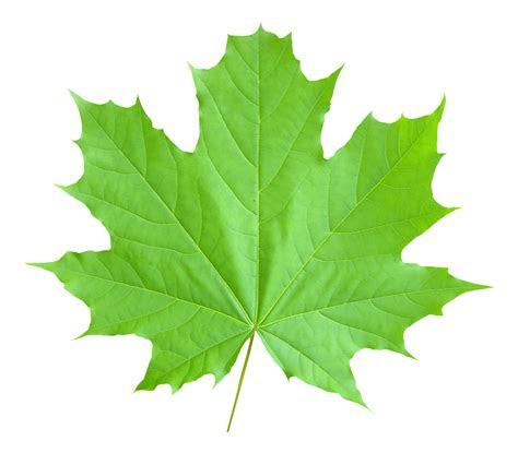 maple leaf png transparent image pngpix