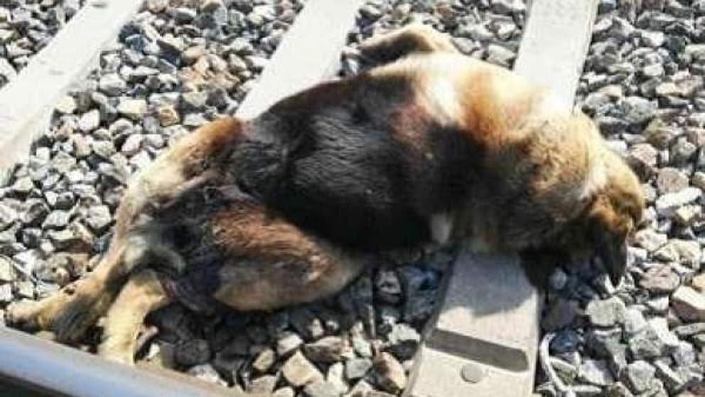 Aparecen 20 perros muertos atados a las vías del tren
