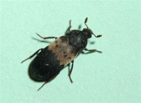 Larder Beetles Insects University Of Minnesota Extension Identification ~ idolza